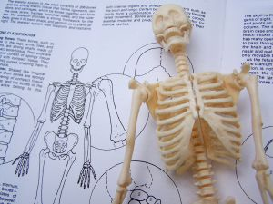 Skeleton anatomy Credit: Melodi2